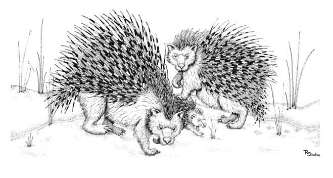 Porcupines Card